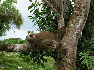Sloth in taking it easy in Costa Rica
