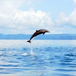 05-spotted-dolphins