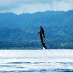 06-spotted-dolphins