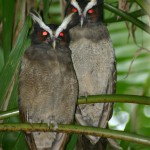 11-crested-owl