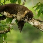 11-pizote-on-branch