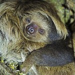 baby-sloth-face