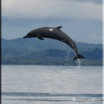 spotted-dolphins-jumping