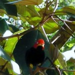 07 red-capped manakin