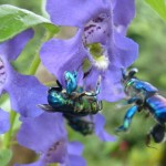 09 Orchid bees
