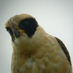 10 Laughing Falcon