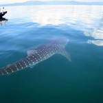 Whale Shark by boat CL